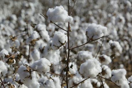 Let's Talk Cotton